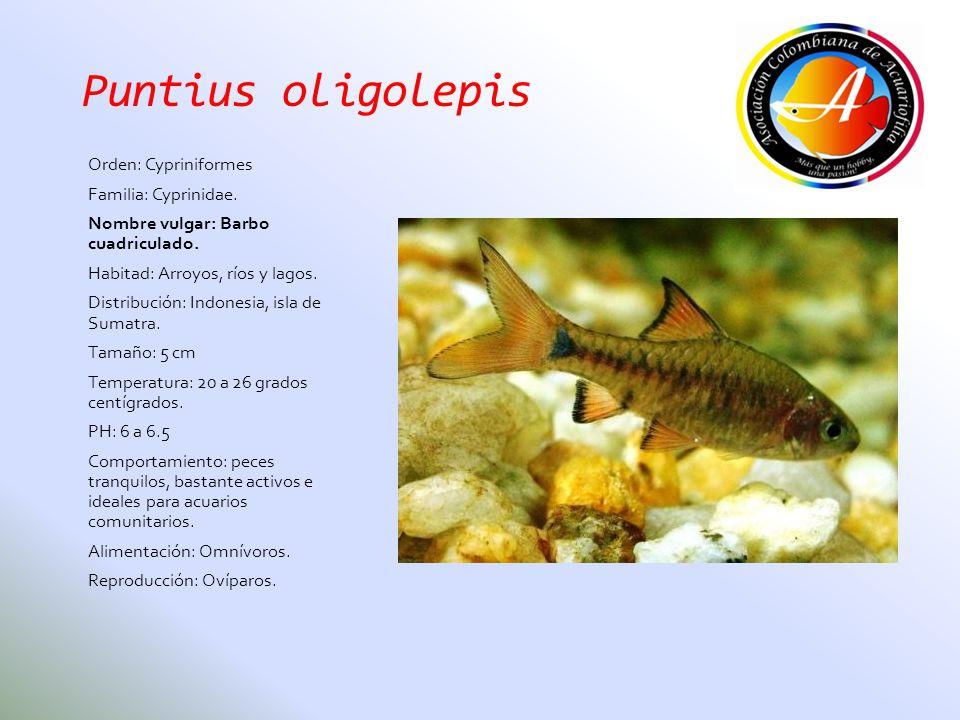 Puntius oligolepis Orden: Cypriniformes Familia: Cyprinidae. Nombre vulgar: Barbo cuadriculado. Habitad: Arroyos, ríos y lagos. Distribución: Indonesi