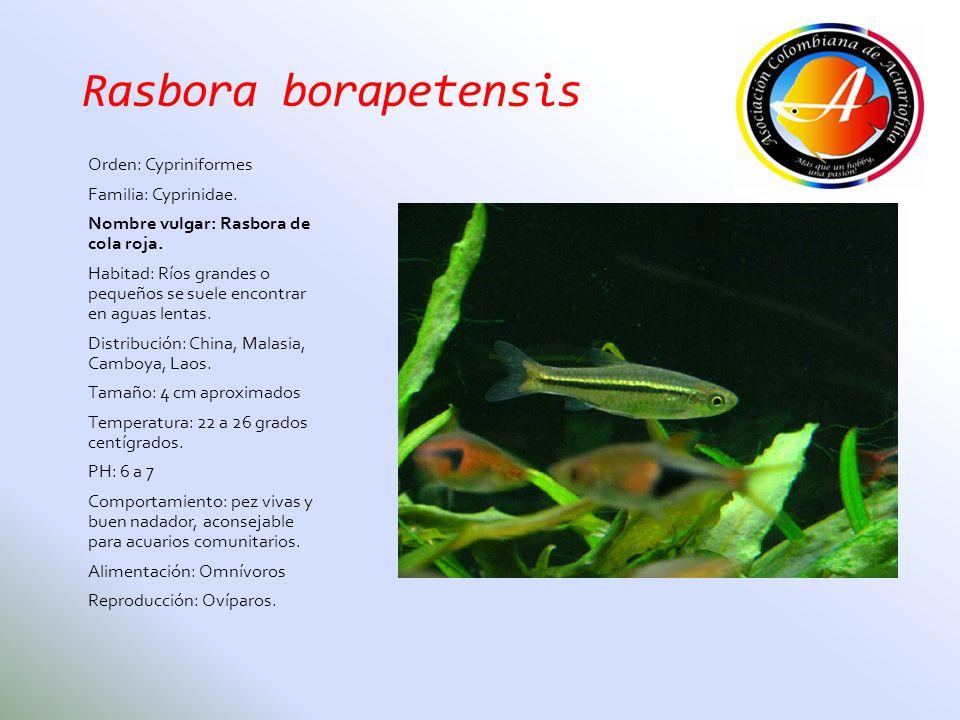 Rasbora borapetensis Orden: Cypriniformes Familia: Cyprinidae. Nombre vulgar: Rasbora de cola roja. Habitad: Ríos grandes o pequeños se suele encontra