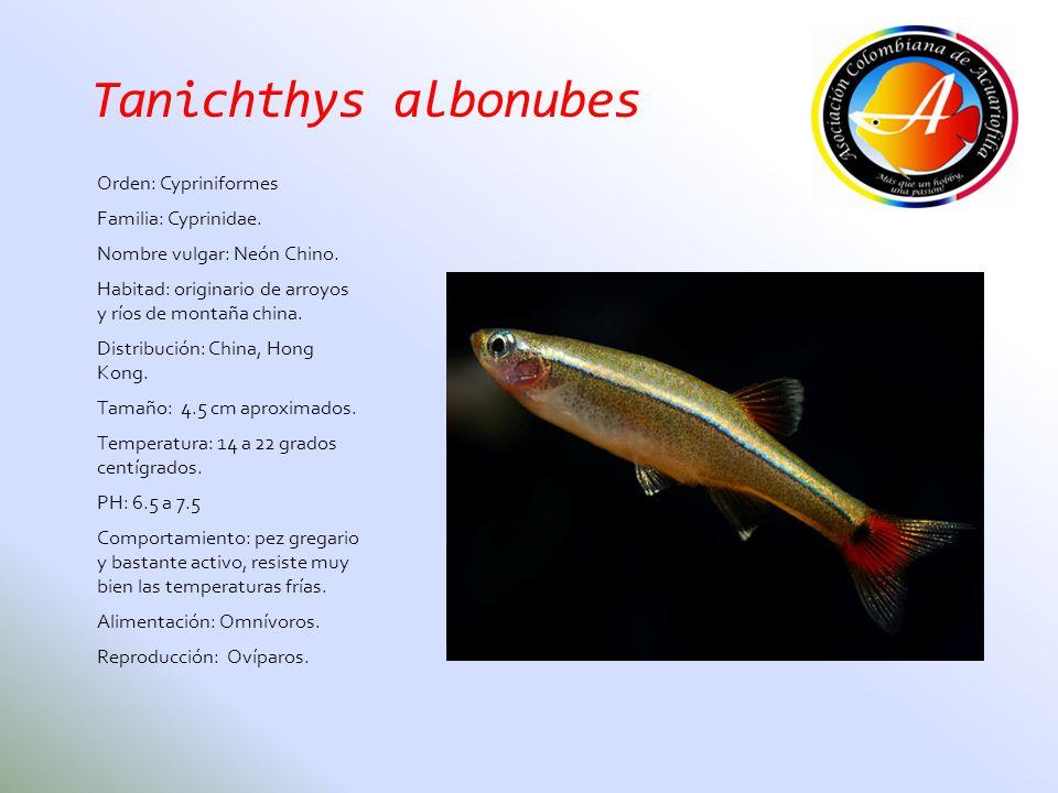 Tanichthys albonubes Orden: Cypriniformes Familia: Cyprinidae. Nombre vulgar: Neón Chino. Habitad: originario de arroyos y ríos de montaña china. Dist