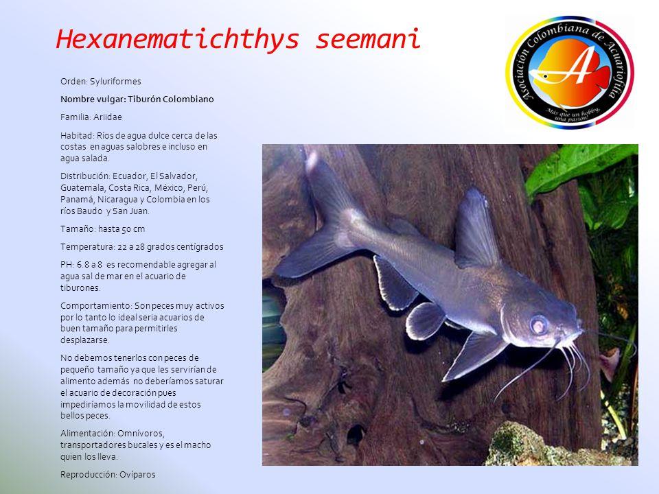 Hexanematichthys seemani Orden: Syluriformes Nombre vulgar: Tiburón Colombiano Familia: Ariidae Habitad: Ríos de agua dulce cerca de las costas en agu