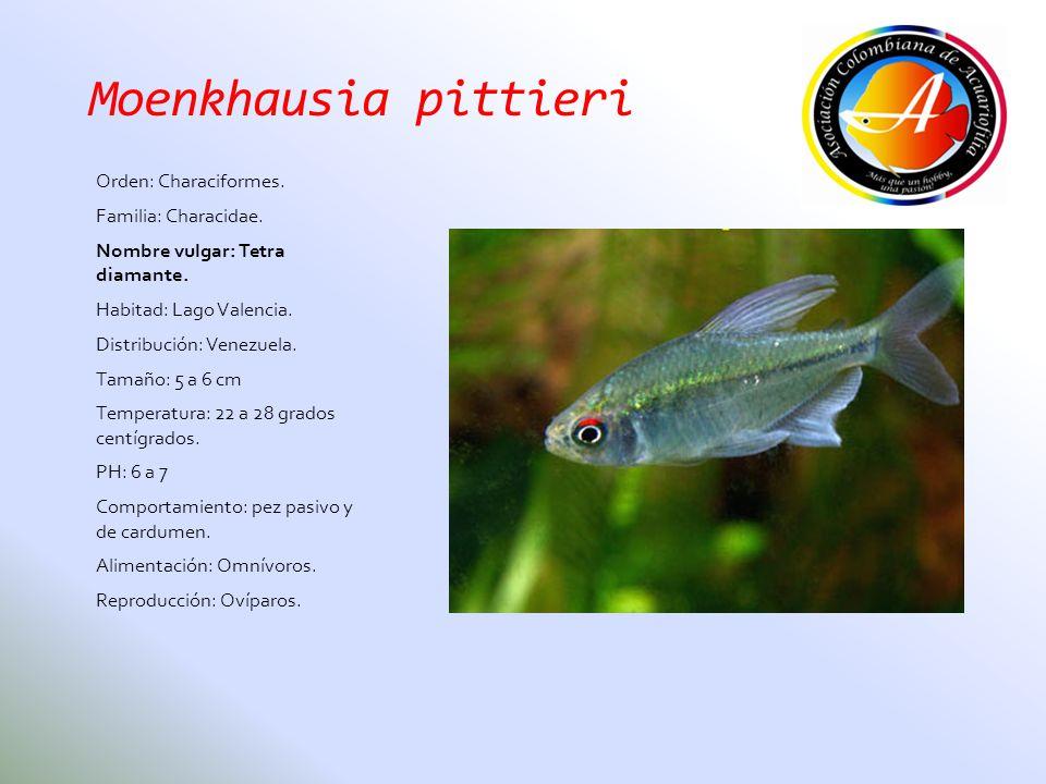 Moenkhausia pittieri Orden: Characiformes. Familia: Characidae. Nombre vulgar: Tetra diamante. Habitad: Lago Valencia. Distribución: Venezuela. Tamaño