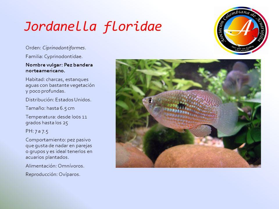 Jordanella floridae Orden: Ciprinodontiformes. Familia: Cyprinodontidae. Nombre vulgar: Pez bandera norteamericano. Habitad: charcas, estanques aguas