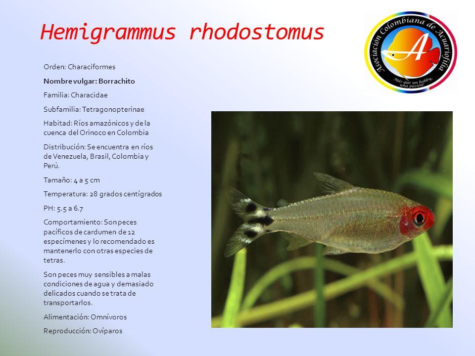 Hemigrammus rhodostomus Orden: Characiformes Nombre vulgar: Borrachito Familia: Characidae Subfamilia: Tetragonopterinae Habitad: Ríos amazónicos y de