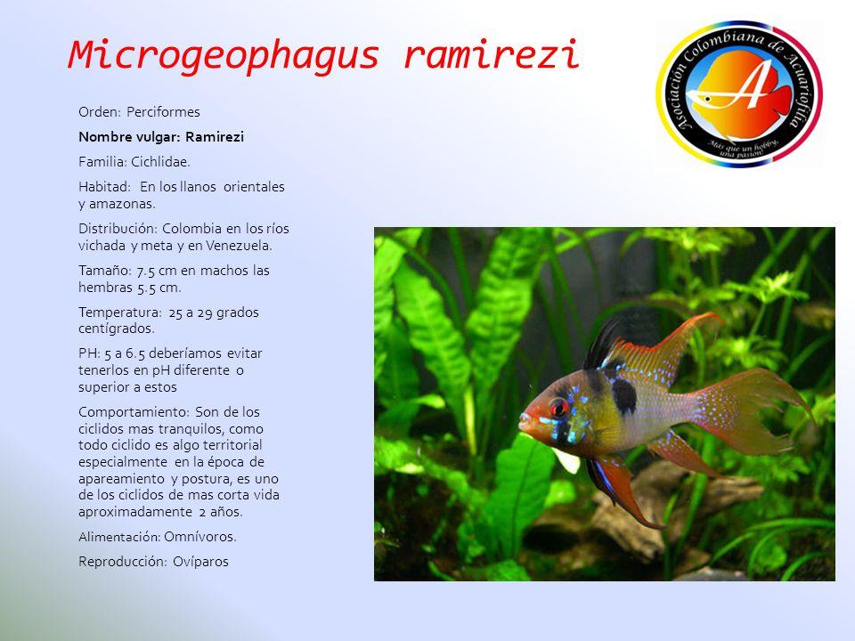 Microgeophagus ramirezi Orden: Perciformes Nombre vulgar: Ramirezi Familia: Cichlidae. Habitad: En los llanos orientales y amazonas. Distribución: Col