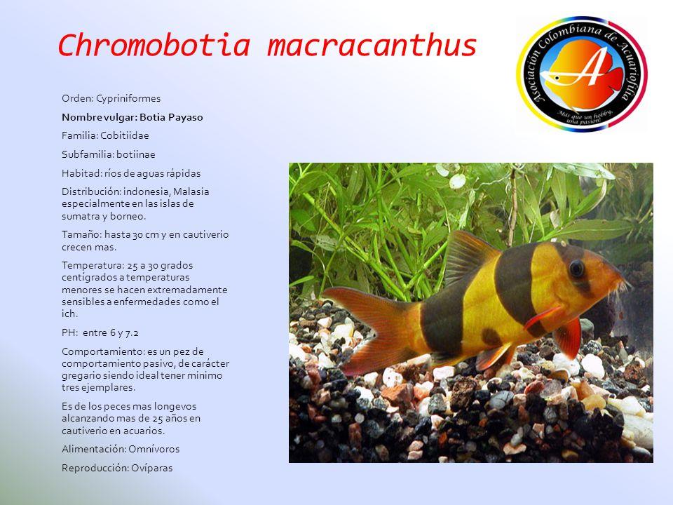Chromobotia macracanthus Orden: Cypriniformes Nombre vulgar: Botia Payaso Familia: Cobitiidae Subfamilia: botiinae Habitad: ríos de aguas rápidas Dist