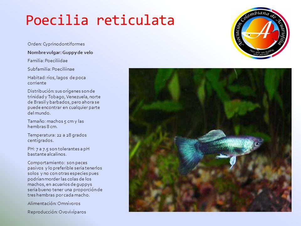 Poecilia reticulata Orden: Cyprinodontiformes Nombre vulgar: Guppy de velo Familia: Poeciliidae Subfamilia: Poeciliinae Habitad: ríos, lagos de poca c