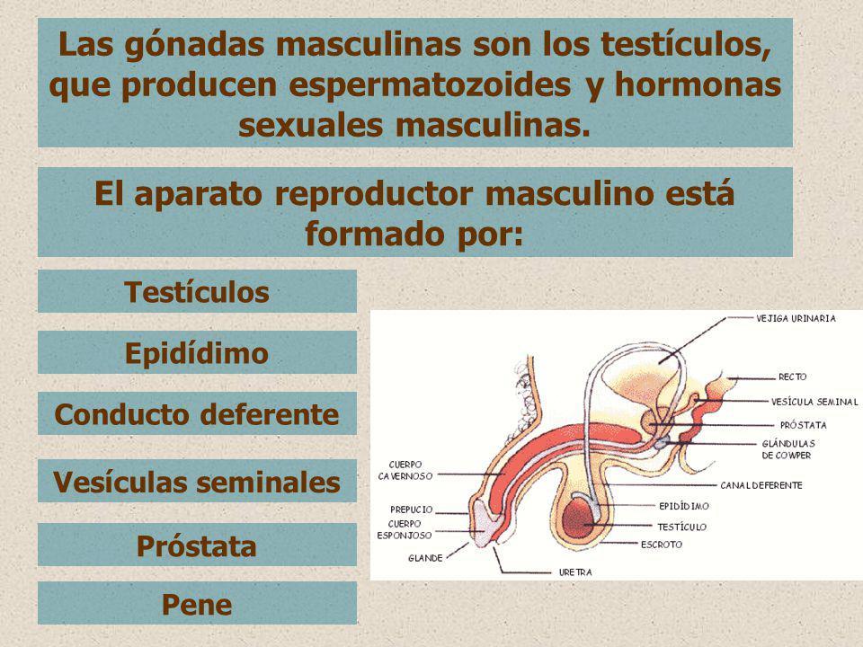 Las gónadas masculinas son los testículos, que producen espermatozoides y hormonas sexuales masculinas. El aparato reproductor masculino está formado