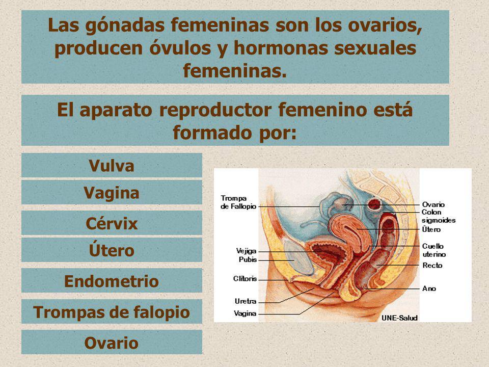 Las gónadas femeninas son los ovarios, producen óvulos y hormonas sexuales femeninas. El aparato reproductor femenino está formado por: Vulva Vagina C
