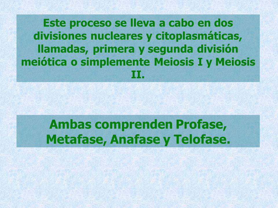 Este proceso se lleva a cabo en dos divisiones nucleares y citoplasmáticas, llamadas, primera y segunda división meiótica o simplemente Meiosis I y Me