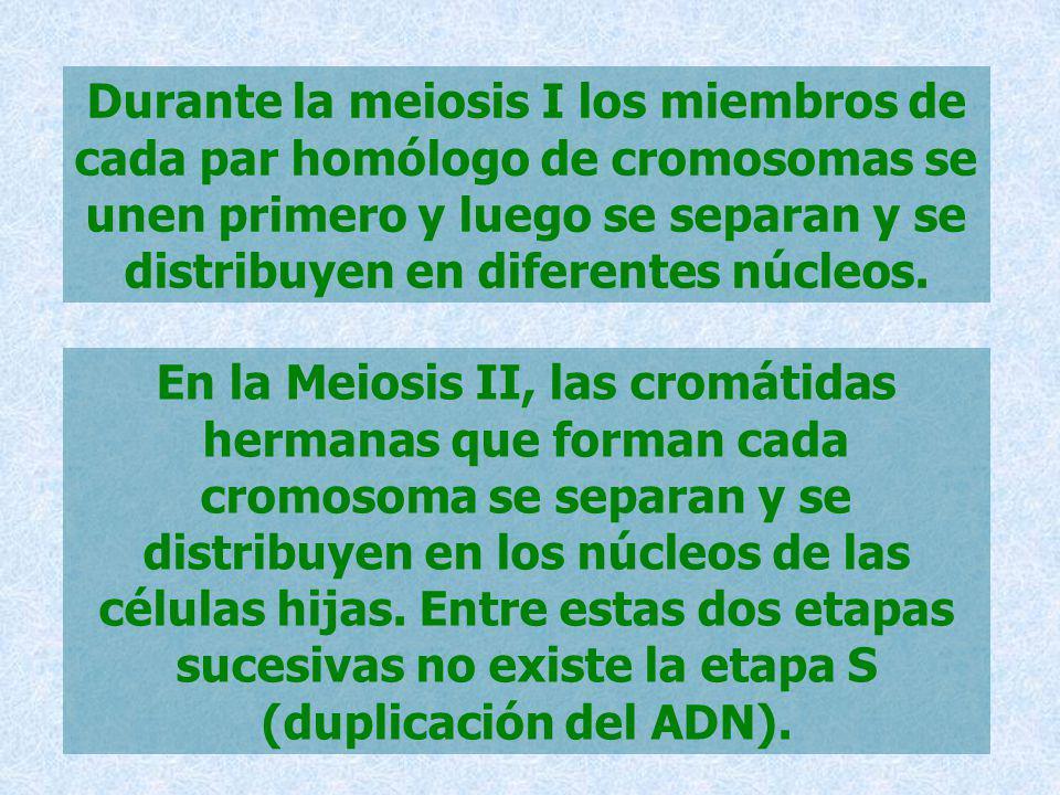 Durante la meiosis I los miembros de cada par homólogo de cromosomas se unen primero y luego se separan y se distribuyen en diferentes núcleos. En la