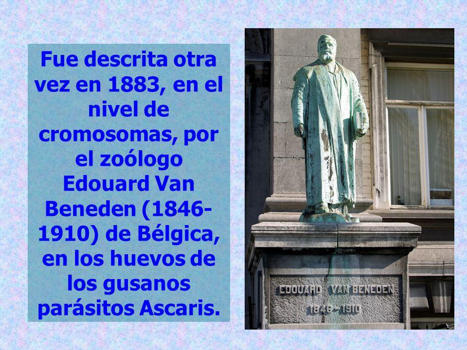 Fue descrita otra vez en 1883, en el nivel de cromosomas, por el zoólogo Edouard Van Beneden (1846- 1910) de Bélgica, en los huevos de los gusanos par