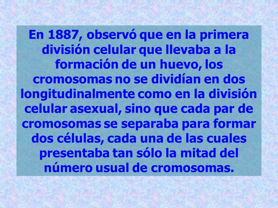 En 1887, observó que en la primera división celular que llevaba a la formación de un huevo, los cromosomas no se dividían en dos longitudinalmente com