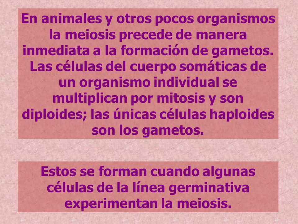 En animales y otros pocos organismos la meiosis precede de manera inmediata a la formación de gametos. Las células del cuerpo somáticas de un organism