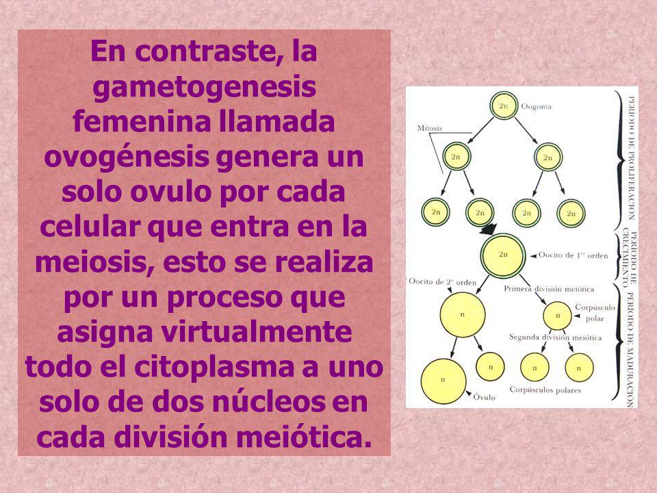 En contraste, la gametogenesis femenina llamada ovogénesis genera un solo ovulo por cada celular que entra en la meiosis, esto se realiza por un proce