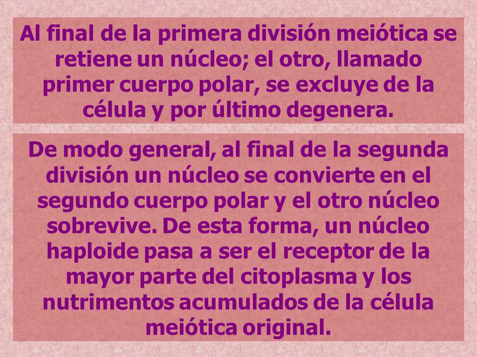 Al final de la primera división meiótica se retiene un núcleo; el otro, llamado primer cuerpo polar, se excluye de la célula y por último degenera. De