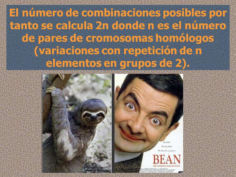 El número de combinaciones posibles por tanto se calcula 2n donde n es el número de pares de cromosomas homólogos (variaciones con repetición de n ele