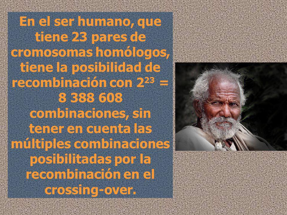 En el ser humano, que tiene 23 pares de cromosomas homólogos, tiene la posibilidad de recombinación con 2 23 = 8 388 608 combinaciones, sin tener en c