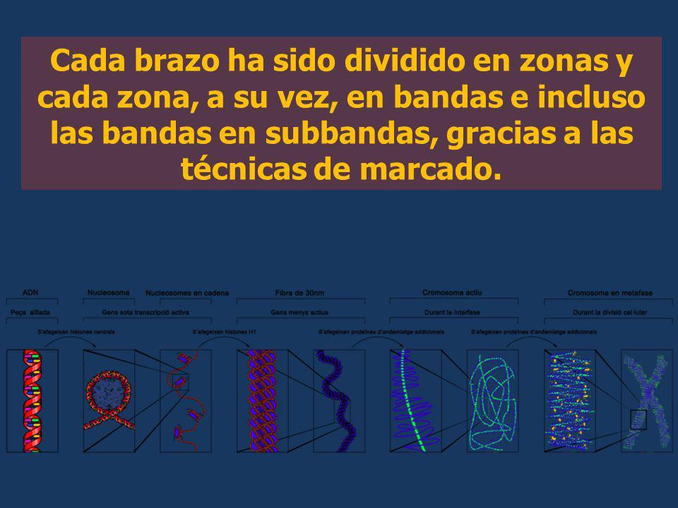 Cada brazo ha sido dividido en zonas y cada zona, a su vez, en bandas e incluso las bandas en subbandas, gracias a las técnicas de marcado.