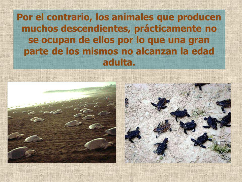 Por el contrario, los animales que producen muchos descendientes, prácticamente no se ocupan de ellos por lo que una gran parte de los mismos no alcan
