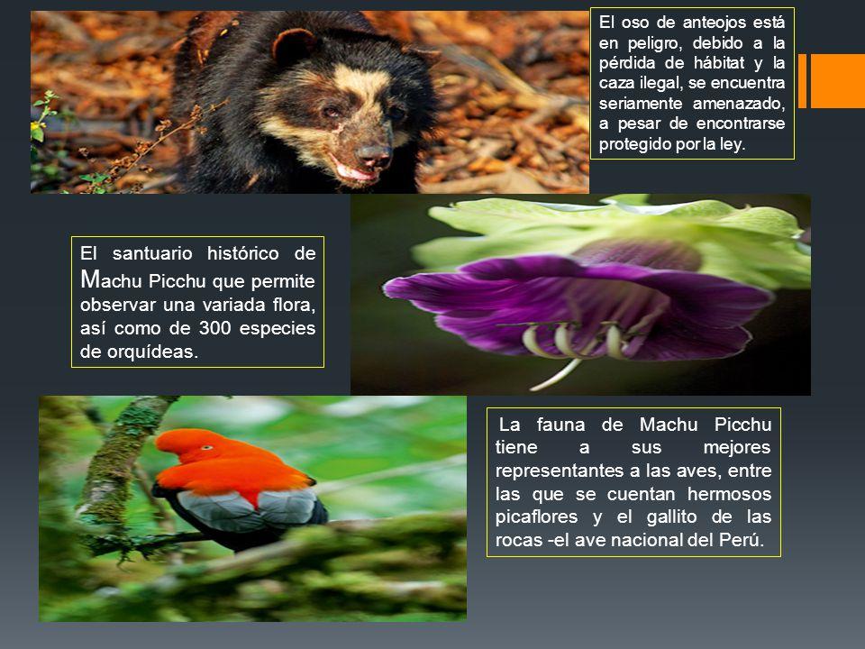 El oso de anteojos está en peligro, debido a la pérdida de hábitat y la caza ilegal, se encuentra seriamente amenazado, a pesar de encontrarse protegi