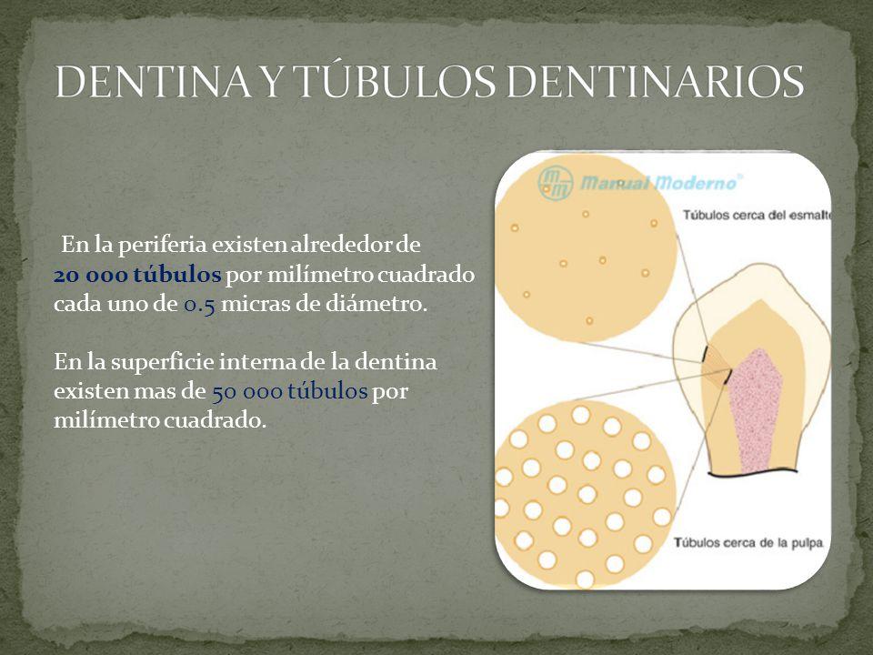 En la periferia existen alrededor de 20 000 túbulos por milímetro cuadrado cada uno de 0.5 micras de diámetro.