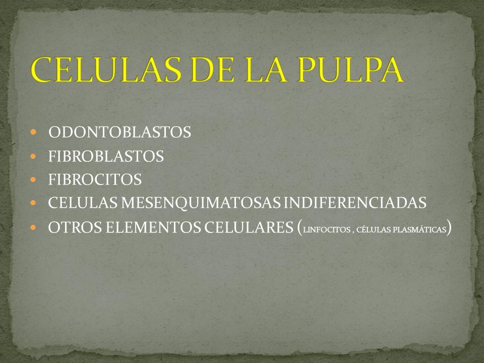 ODONTOBLASTOS FIBROBLASTOS FIBROCITOS CELULAS MESENQUIMATOSAS INDIFERENCIADAS OTROS ELEMENTOS CELULARES ( LINFOCITOS, CÉLULAS PLASMÁTICAS )