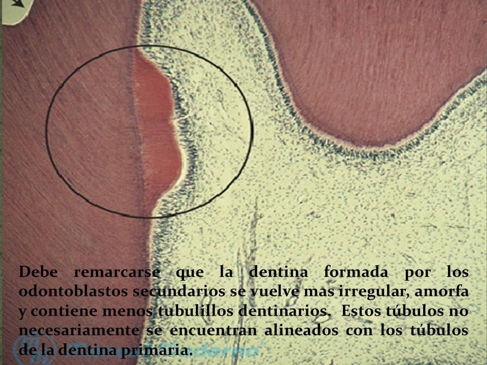 Debe remarcarse que la dentina formada por los odontoblastos secundarios se vuelve mas irregular, amorfa y contiene menos tubulillos dentinarios.