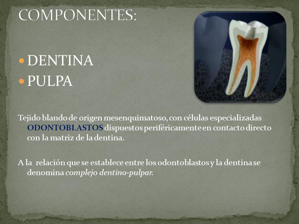DENTINA PULPA Tejido blando de origen mesenquimatoso, con células especializadas ODONTOBLASTOS dispuestos periféricamente en contacto directo con la matriz de la dentina.