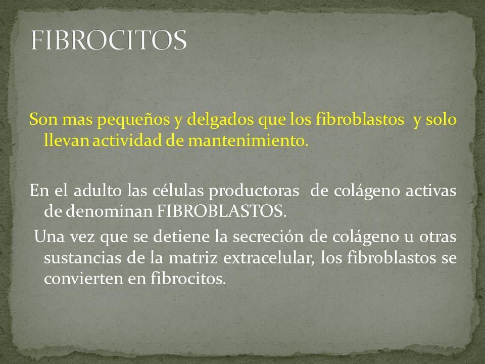 Son mas pequeños y delgados que los fibroblastos y solo llevan actividad de mantenimiento.