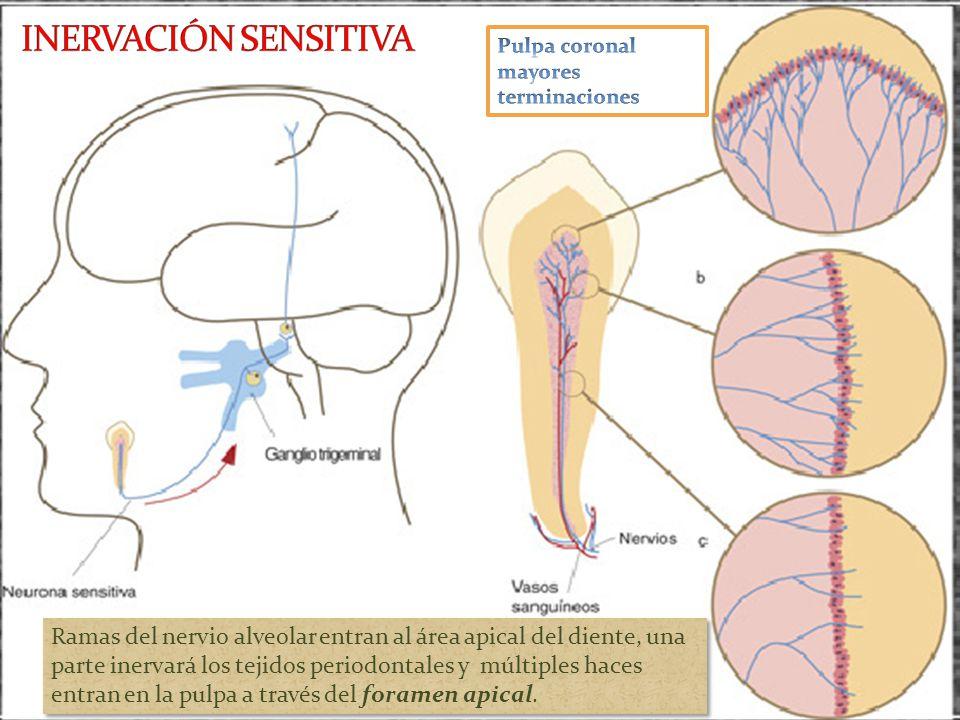 Ramas del nervio alveolar entran al área apical del diente, una parte inervará los tejidos periodontales y múltiples haces entran en la pulpa a través del foramen apical.