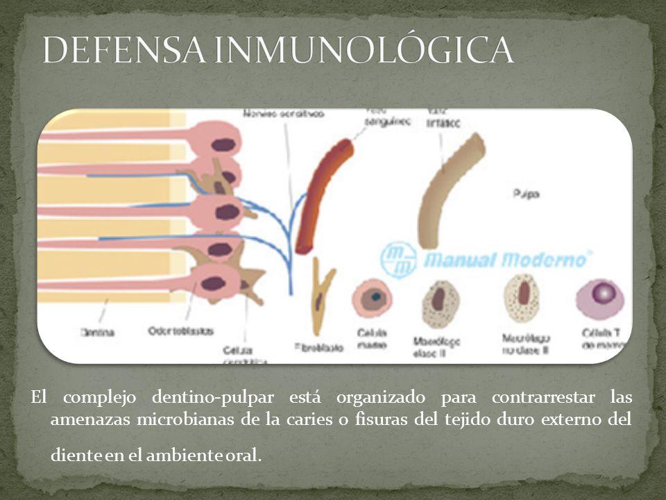El complejo dentino-pulpar está organizado para contrarrestar las amenazas microbianas de la caries o fisuras del tejido duro externo del diente en el ambiente oral.