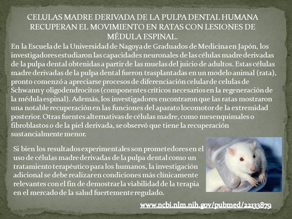 CELULAS MADRE DERIVADA DE LA PULPA DENTAL HUMANA RECUPERAN EL MOVIMIENTO EN RATAS CON LESIONES DE MÉDULA ESPINAL.