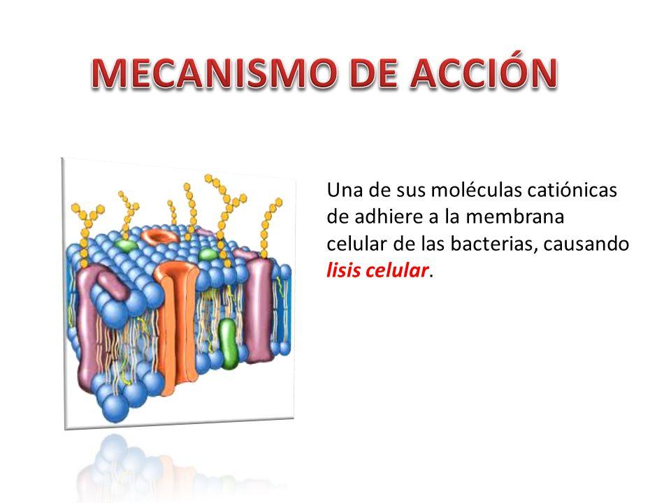 Una de sus moléculas catiónicas de adhiere a la membrana celular de las bacterias, causando lisis celular.