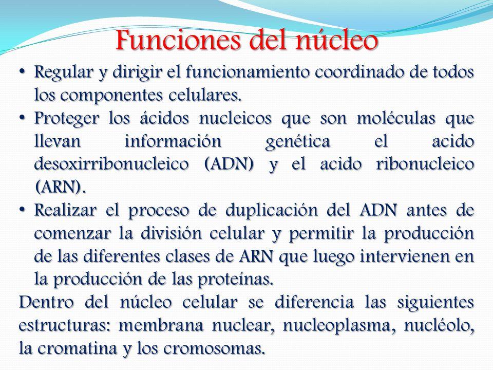 Funciones del núcleo Regular y dirigir el funcionamiento coordinado de todos los componentes celulares. Regular y dirigir el funcionamiento coordinado