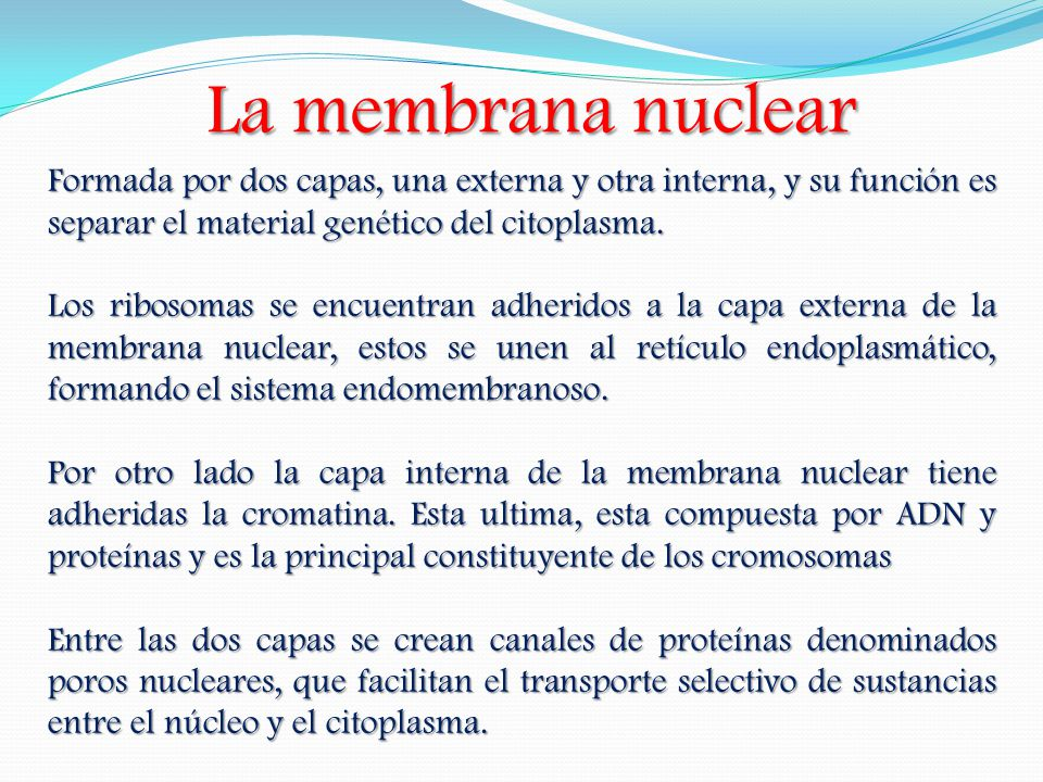 La membrana nuclear Formada por dos capas, una externa y otra interna, y su función es separar el material genético del citoplasma. Los ribosomas se e