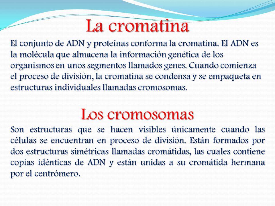La cromatina El conjunto de ADN y proteínas conforma la cromatina. El ADN es la molécula que almacena la información genética de los organismos en uno