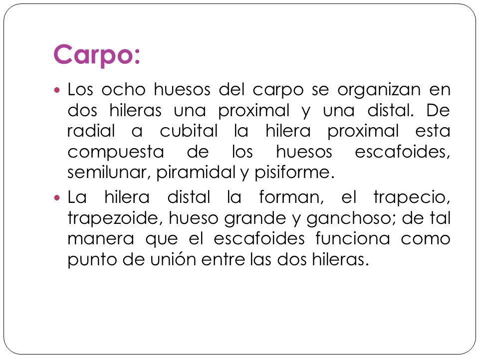 Carpo: Los ocho huesos del carpo se organizan en dos hileras una proximal y una distal.