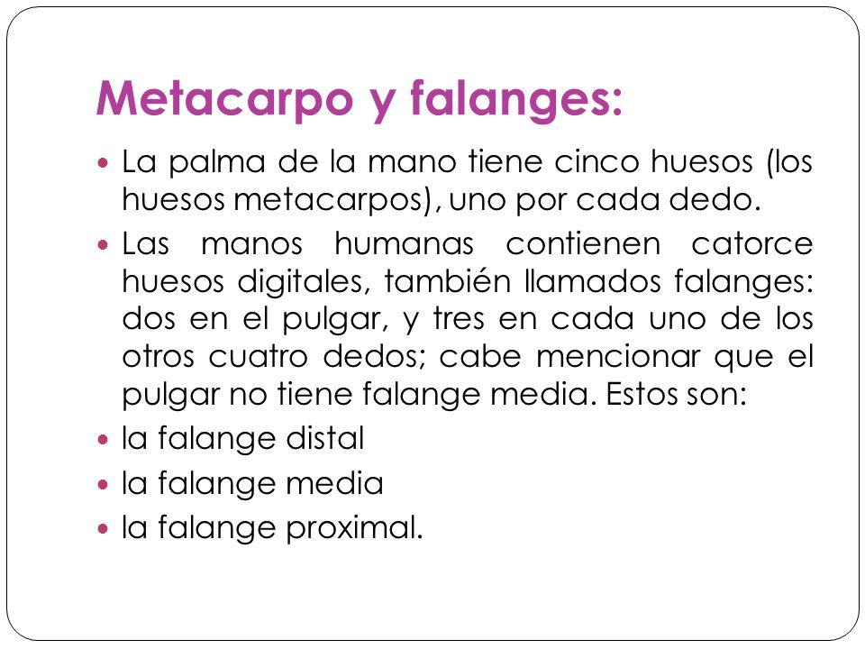 Metacarpo y falanges: La palma de la mano tiene cinco huesos (los huesos metacarpos), uno por cada dedo.