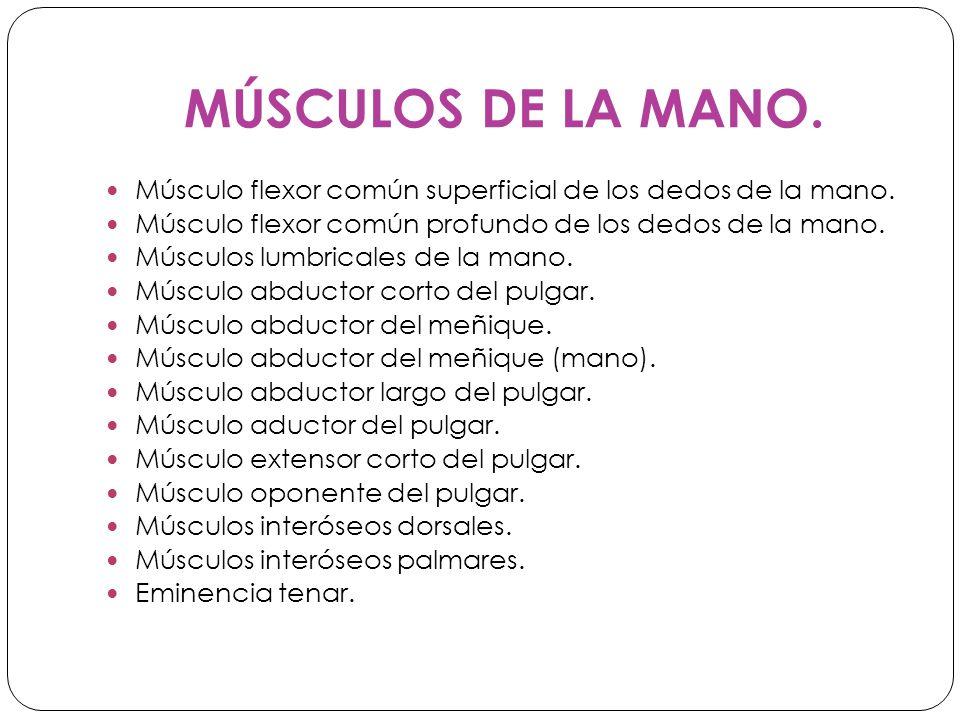MÚSCULOS DE LA MANO.Músculo flexor común superficial de los dedos de la mano.