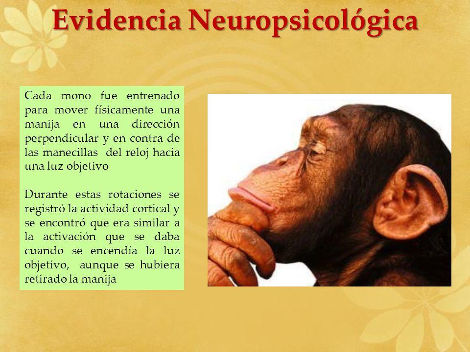 Evidencia Neuropsicológica Cada mono fue entrenado para mover físicamente una manija en una dirección perpendicular y en contra de las manecillas del
