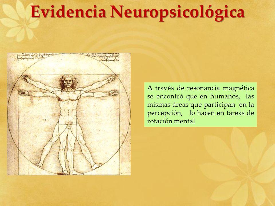 A través de resonancia magnética se encontró que en humanos, las mismas áreas que participan en la percepción, lo hacen en tareas de rotación mental E