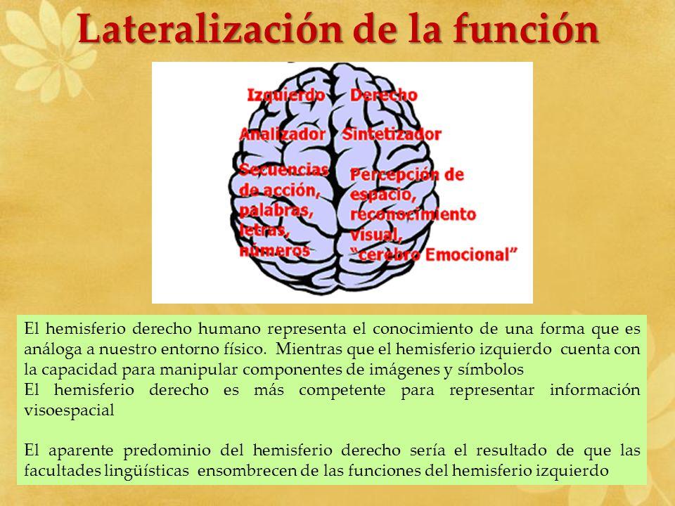Lateralización de la función El hemisferio derecho humano representa el conocimiento de una forma que es análoga a nuestro entorno físico. Mientras qu
