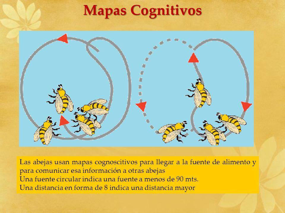 Mapas Cognitivos Las abejas usan mapas cognoscitivos para llegar a la fuente de alimento y para comunicar esa información a otras abejas Una fuente ci