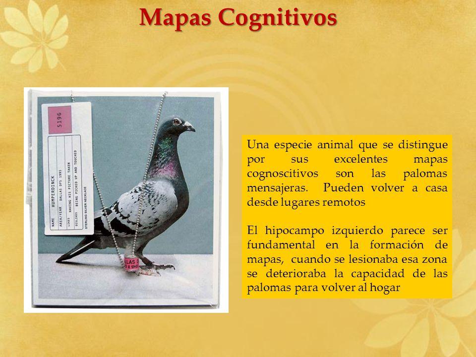 Mapas Cognitivos Una especie animal que se distingue por sus excelentes mapas cognoscitivos son las palomas mensajeras. Pueden volver a casa desde lug