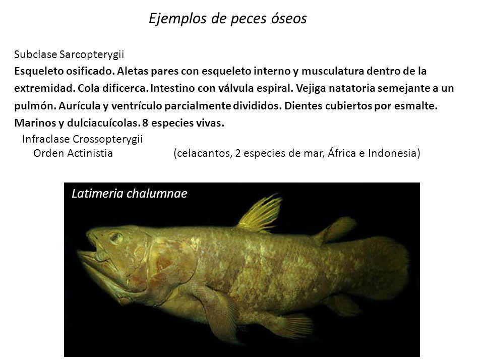 Protocterus annectens Ejemplos de peces óseos Subclase Sarcopterygii Esqueleto osificado. Aletas pares con esqueleto interno y musculatura dentro de l