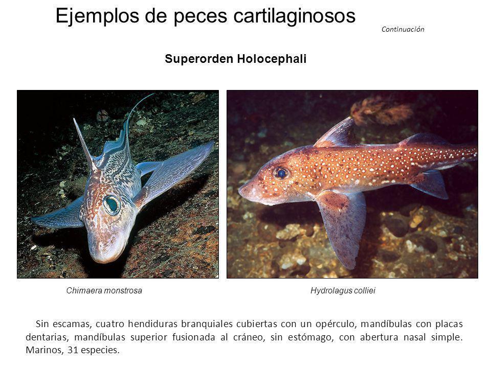 Ejemplos de peces cartilaginosos Subclase Elasmobranchii Rhincodon typus sp. Tiburón ballena Sphyrna sp. Pez martillo Tiburón azul Prionace glauca Fue