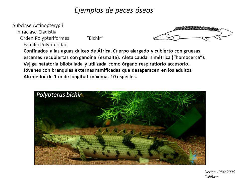 Ejemplos de peces cartilaginosos Superorden Holocephali Chimaera monstrosa Hydrolagus colliei Continuación Sin escamas, cuatro hendiduras branquiales