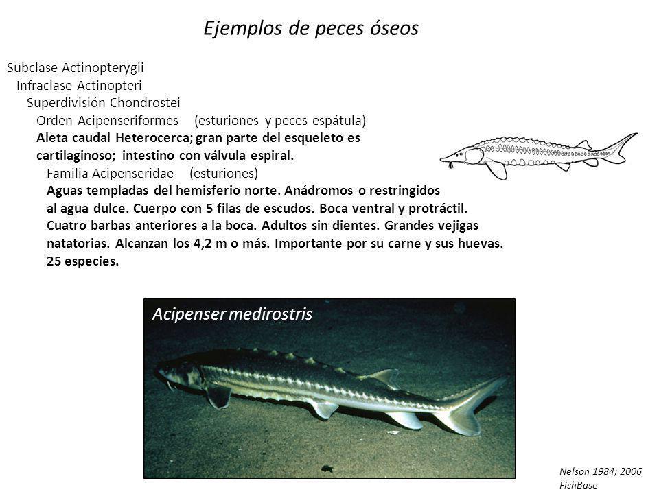 Ejemplos de peces óseos Polypterus bichir Subclase Actinopterygii Infraclase Cladistia Orden Polypteriformes Bichir Familia Polypteridae Confinados a las aguas dulces de África.