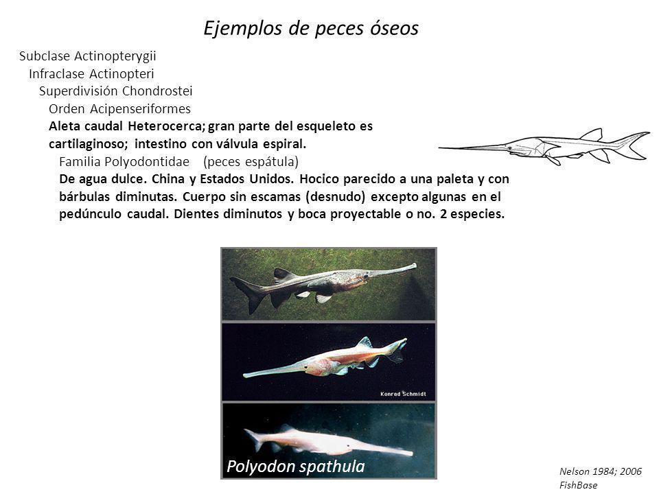 Ejemplos de peces óseos Subclase Actinopterygii Infraclase Actinopteri Superdivisión Chondrostei Orden Acipenseriformes (esturiones y peces espátula) Aleta caudal Heterocerca; gran parte del esqueleto es cartilaginoso; intestino con válvula espiral.