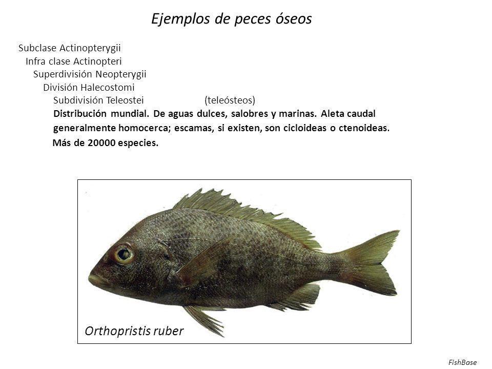 Ejemplos de peces óseos Subclase Actinopterygii Infra clase Actinopteri Superdivisión Neopterygii División Halecostomi Subdivisión Halecomorphi Ordern